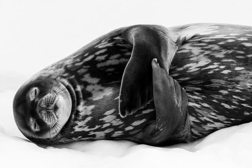 Sleeping Like A Weddell- best photos in 2019 by Ralf Schneider