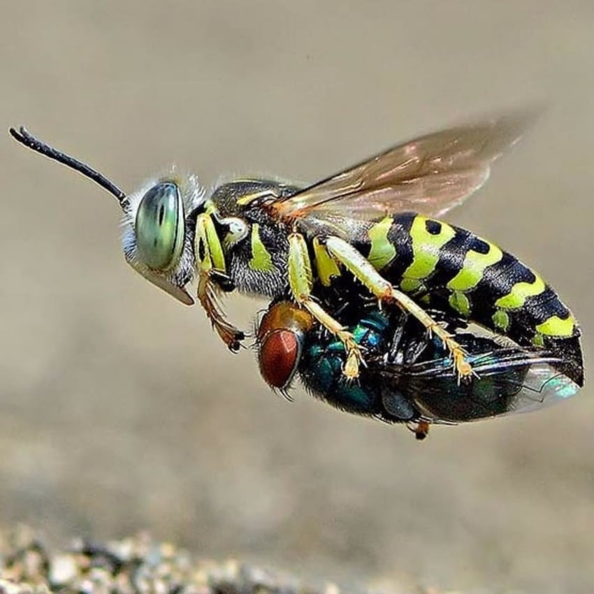 Wasp Carrying It's Prey by Imam Primahardy